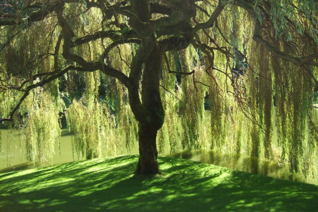 the great willow tree